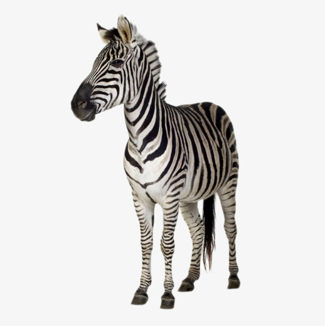 HD Zebra, Zebra, Animal, Adult Zebra Free PNG Image - Zebra PNG HD