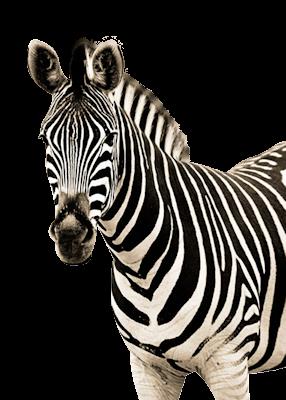 Zebra Resimleri - Zebra PNG HD