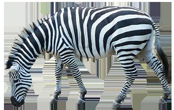 Zebra PNG image - Zebra PNG
