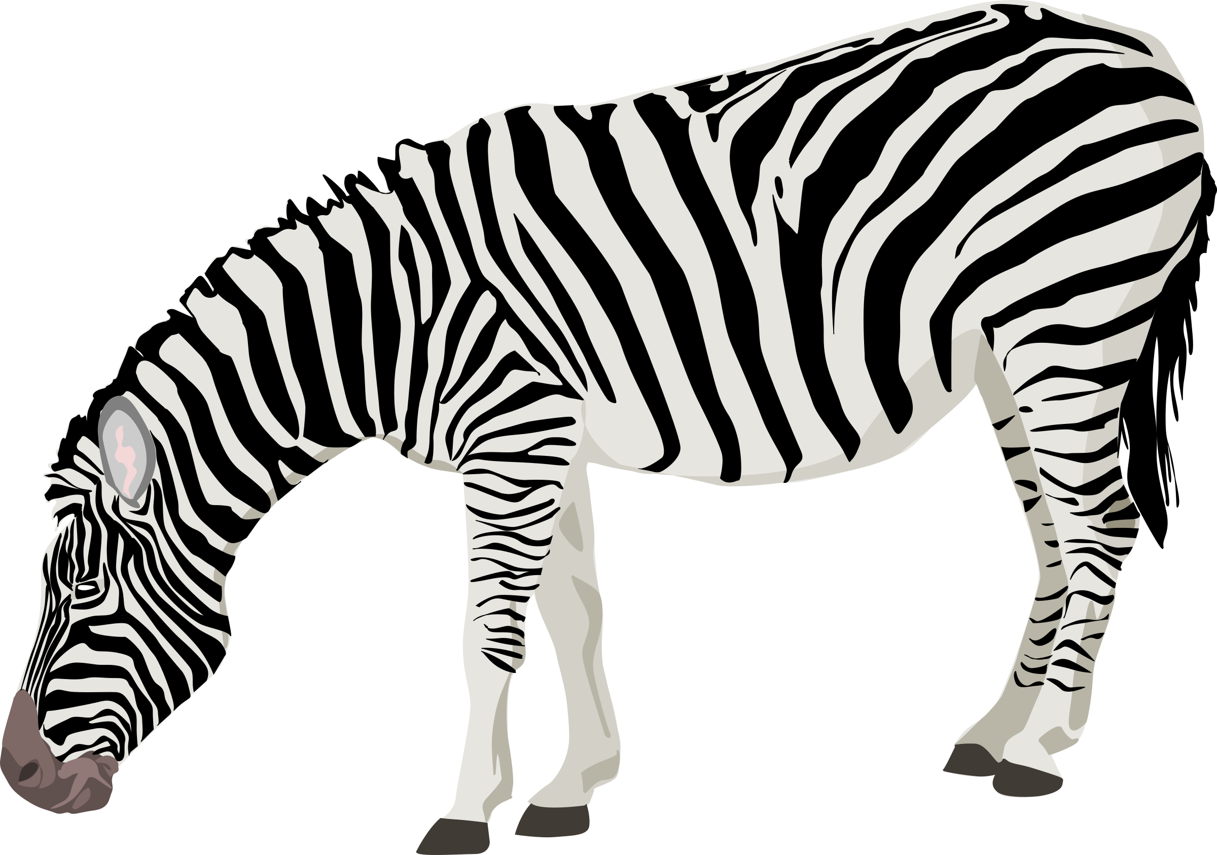 Zebra PNG Photos