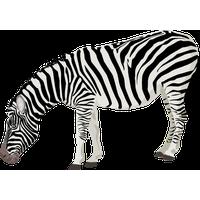 Zebra PNG - 21988