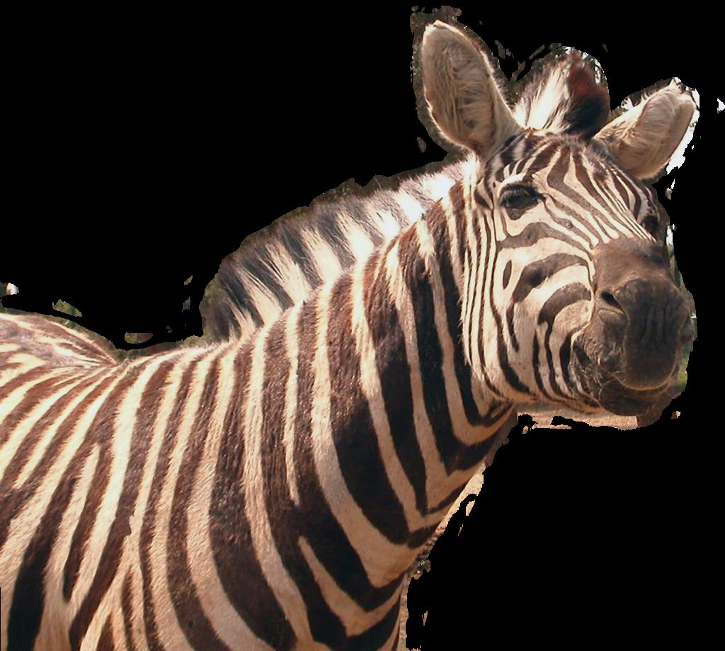 Zebra PNG Transparent Image - Zebra PNG