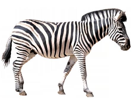 Zebra PNG - 21987
