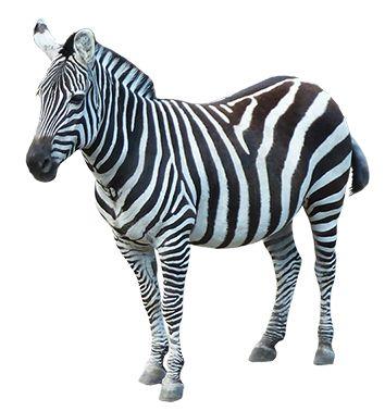 Zebra PNG - 21991