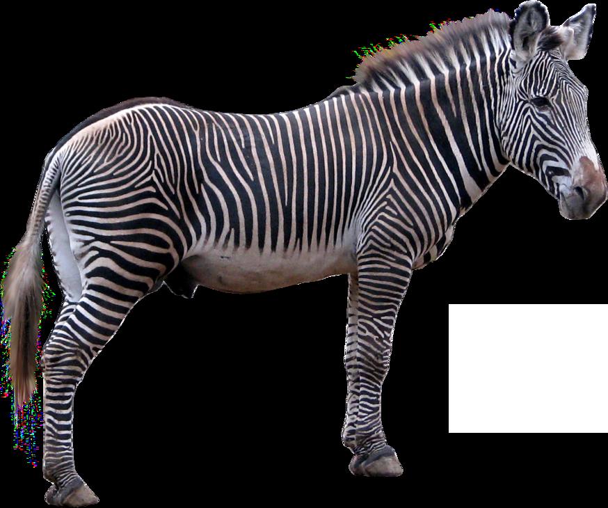 Zebra PNG - 21986