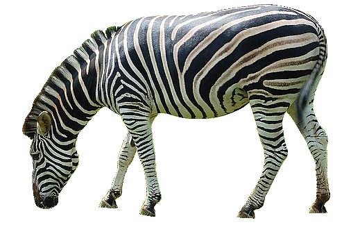 Zebra PNG - 21985